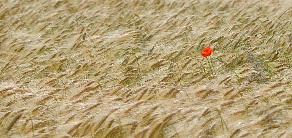 Einsamer Mohn im Feld