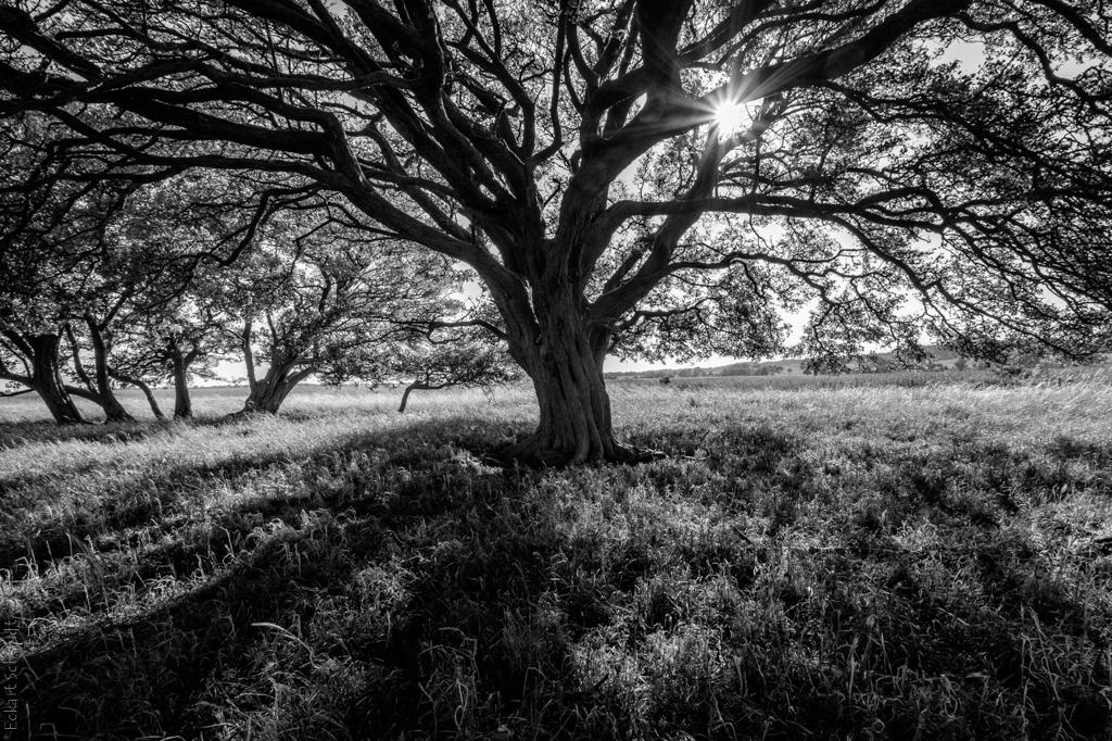 Hiddensee der Baum auf Altbessin